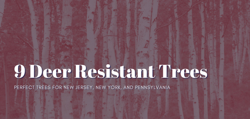 "A stand of birch trees with the title, ""9 Deer Resistant Trees: Perfect Trees For New Jersey, New York, and Pennsylvania"""